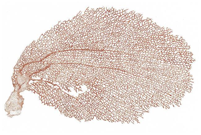 Gorgone dorée | Carreaux-Thuilliez Cecile