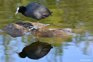 Poule d'eau - Lac de Breteuil en Normandie