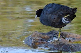 Poule d'eau sur une patte
