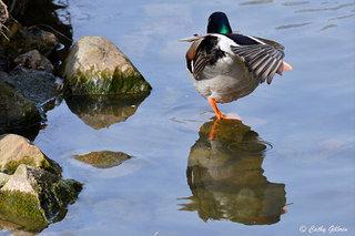 Canard sur une patte