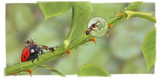 Collaboration fourmis/pucerons