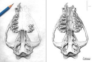 Vue ventrale crâne d'ALCIDEDORBIGNYA INOPINATA