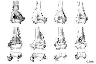 Anatomie comparée - Humérus partie distale