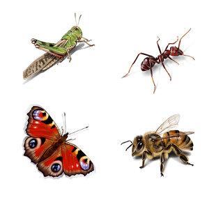 Locusta migratoria, Formicidae, Aglais io,Apis mellifica