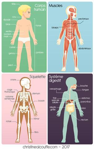 Planches anatomiques - Illustration personnelle