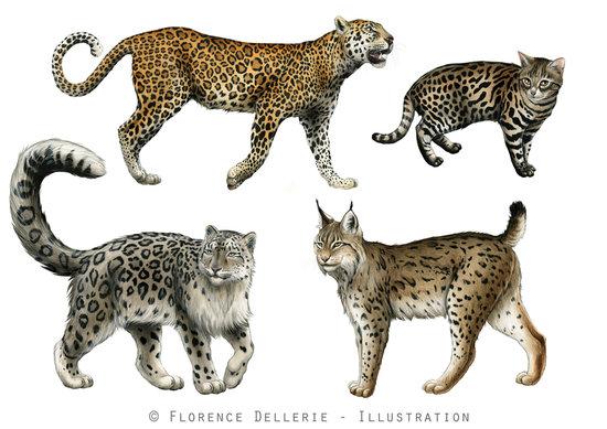Léopard, Chat à pieds noirs, Panthère des neiges, Lynx