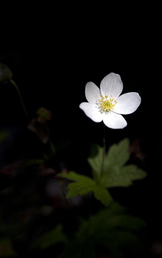 Anémone des bois fleur