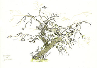 arbre_a_cidre
