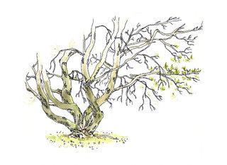 arbre_pin