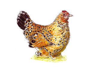 poule rousse.jpg