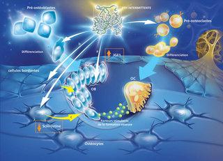 OSTEOPOROSE 2