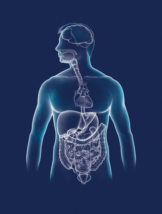 Silhouette organes digestifs