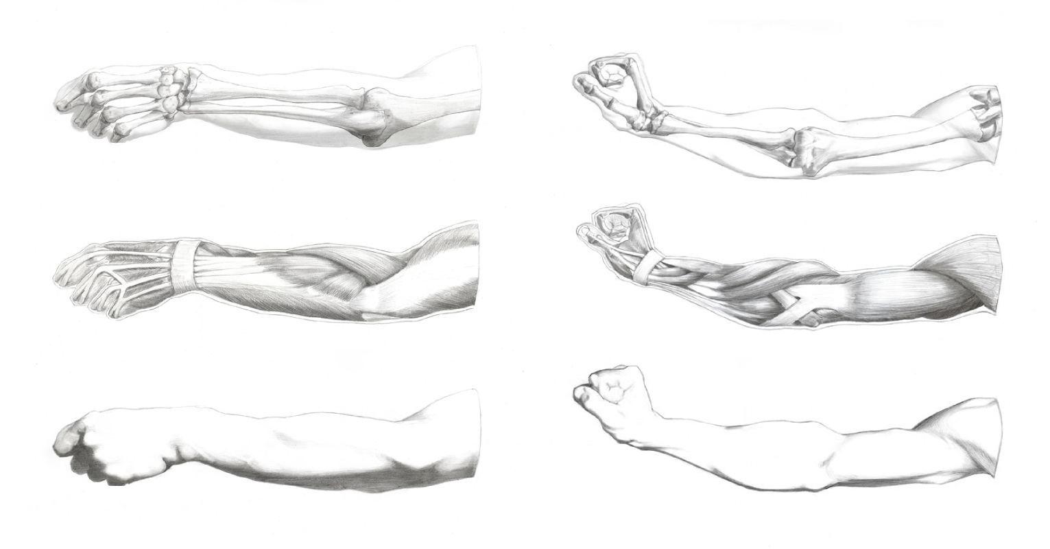 Ecorché - Myologie et Ostéologie du membre superieur<br/><span>Graphite sur papier &#8240;tude réalisée d'après les dessins d'antique de Gérôme &amp; Bargue</span>