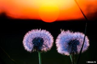 Pissenlits contemplant le coucher du soleil